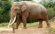 افتتاح اولین بیمارستان فیلها در هند + فیلم