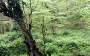 طبیعت بکر و چشمنواز جنگلهای هیرکانی + فیلم