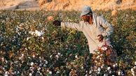 صنعت کشت طلای سفید ایران در آستانه نابودی + فیلم