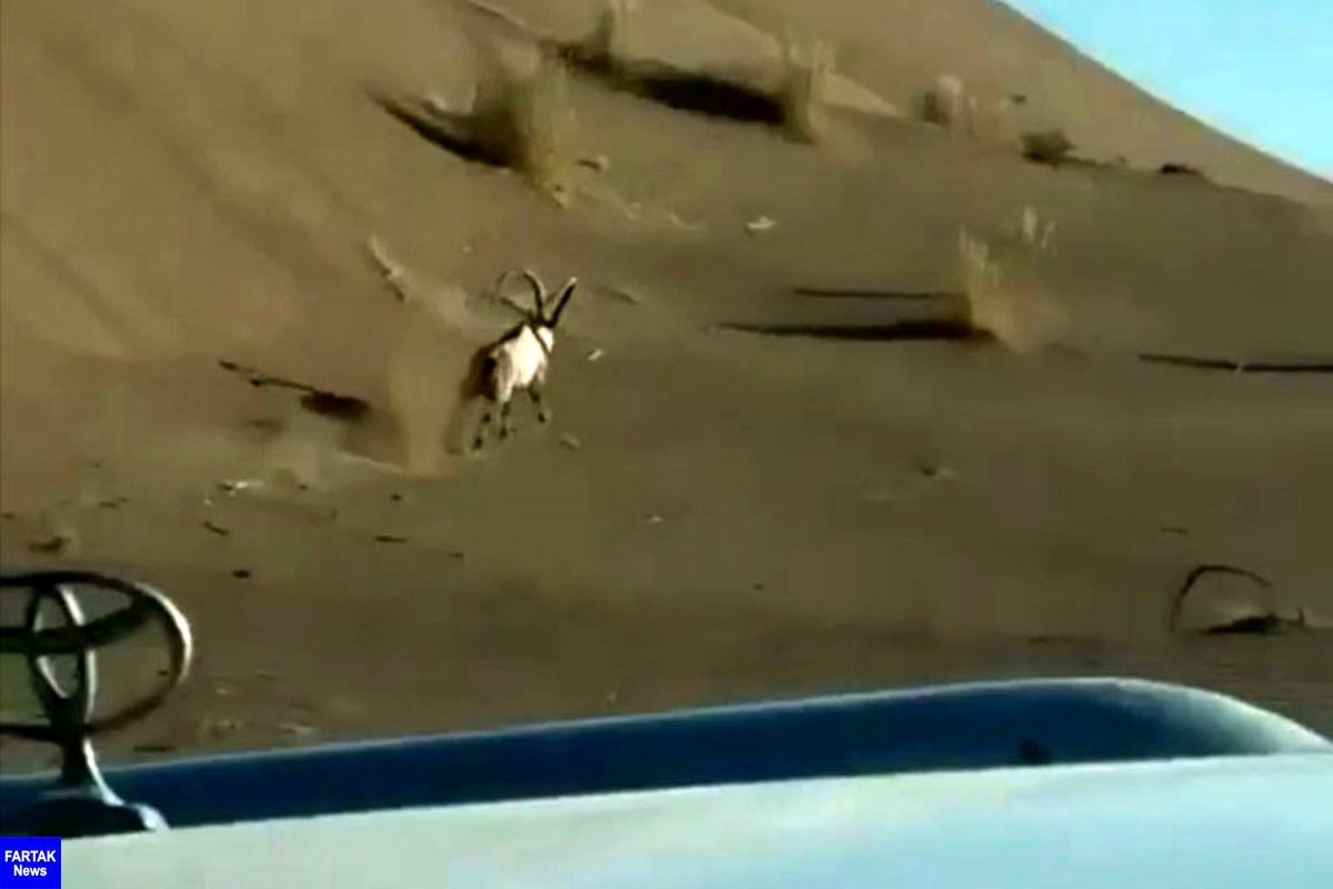 توضیحات محیط زیست درباره فیلم تعقیب یک کل توسط آفرودبازان در مرنجاب