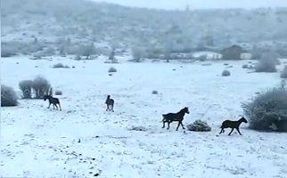 اسبهای وحشی و آزاد در طبیعت برفی گلستان + فیلم