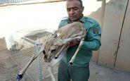 تیمار و نجات یک رأس آهوی زخمی توسط محیط بانان قصرشیرین