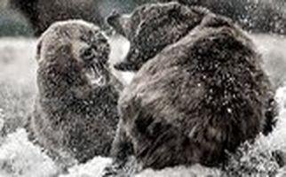 مبارزه دیدنی ۲ خرس غول پیکر با یکدیگر/فیلم