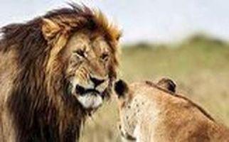 ترس باورنکردنی ۲ شیر بالغ از یک مرد میانسال!/ فیلم