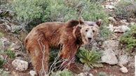 بازگشت خرس قهوه ای به زیستگاه اصلی خود در طبیعت