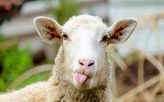 در هواپیمای گوسفندان چه گذشت؟ + فیلم