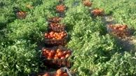 آغاز برداشت محصول گوجه فرنگی
