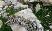 بقایایی از لاشه یک پلنگ پوستکنده شده در غرب گیلان کشف شد