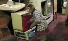 گارسونی یک میمون در کافی شاپ!
