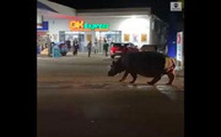 مردم شوک زده از تماشای یکباره اسب آبی بزرگ در وسط خیابان!