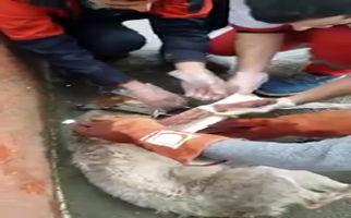 نجات یک سگ توسط تیم امداد و نجات هلال احمر صومعهسرا + فیلم