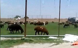 زمین چمن فوتبال یا چراگاه گوسفندان؟! +فیلم