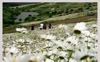 برگزاری جشنواره گل های بابونه در اردبیل+ فیلم