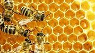رئیس موسسه علوم دامی : اصلاح نژاد ملکه به افزایش سه برابری تولید عسل در کشورانجامید