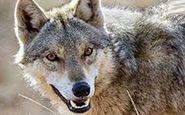 حمله خونین گرگ به 5 زن و مرد در تفرش !