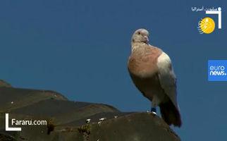 فیلم/ داستان حکم اعدام برای یک کبوتر!