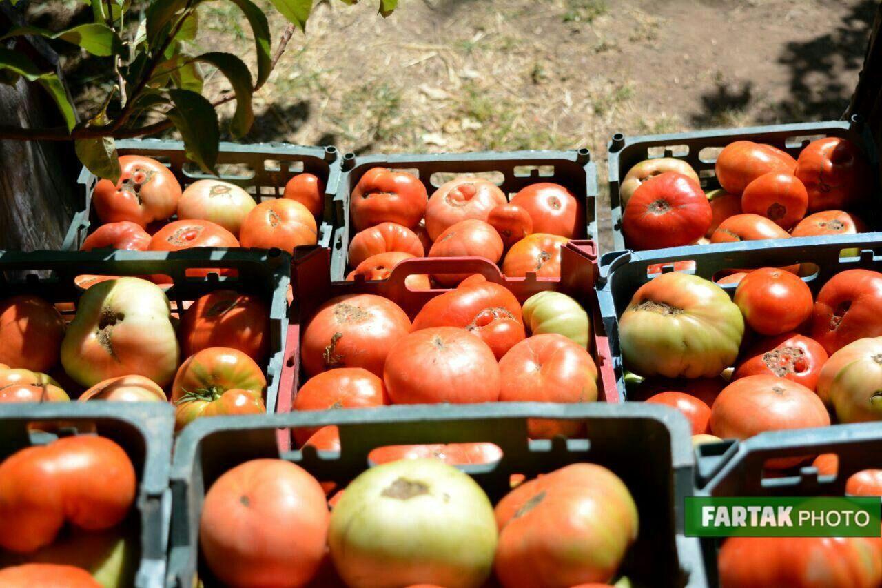برداشت گوجه فرنگی از دشت گهواره