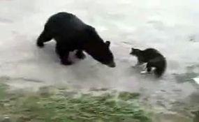 گربهای که خرس را فراری داد!