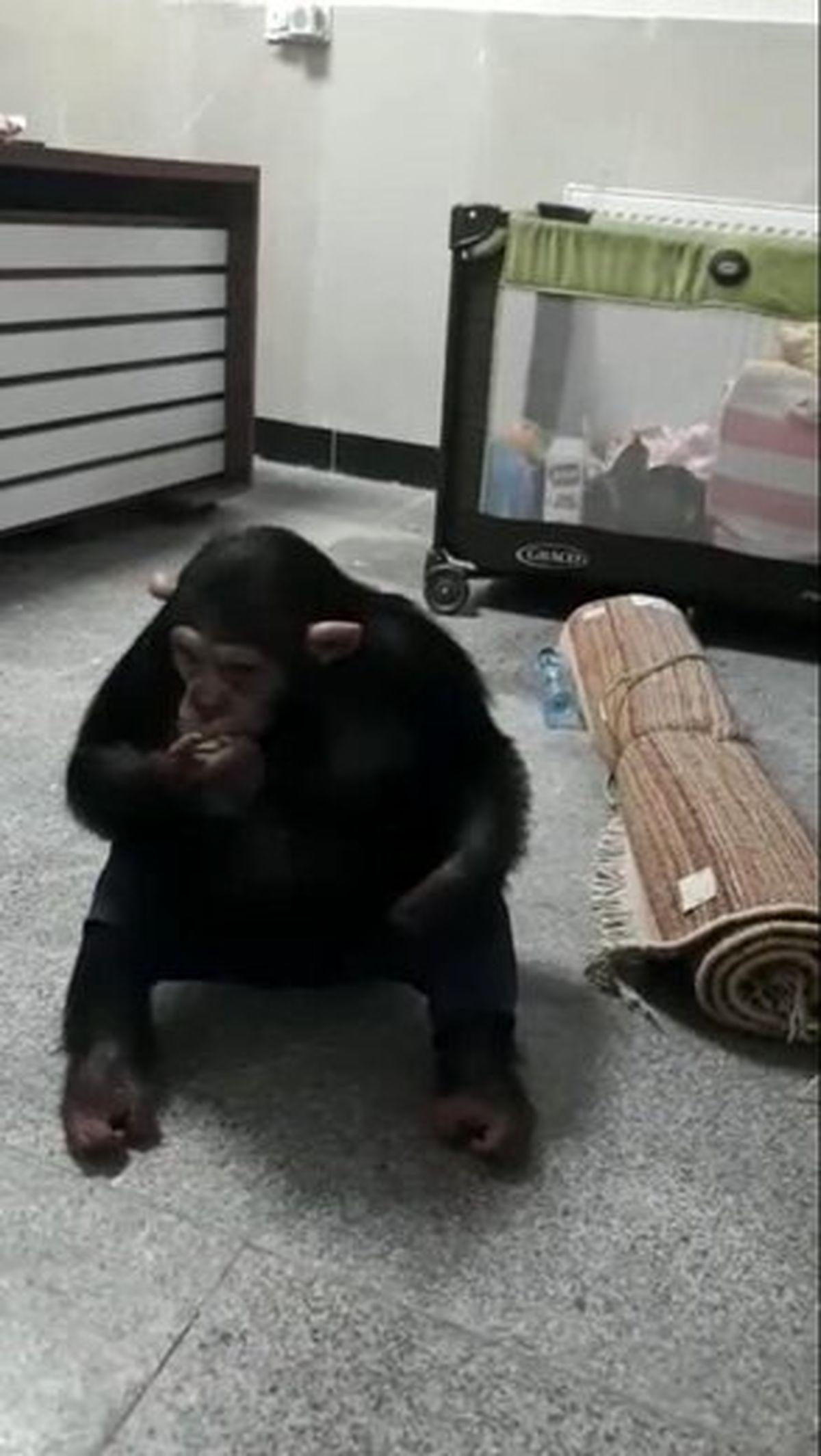 بازگشت شامپانزه معروف به باغ وحش ارم