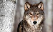 گرگهای گرسنه ۳۴ راس گوسفند را در بیلهسوار دریدند