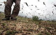 احتمال هجوم ملخهای صحرایی به استان بوشهر از بهمن ماه