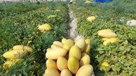 براشت خربزه مشهدی از مزارع روستای اسدآباد شهرستان سرخه