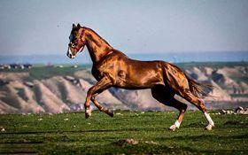 شناسایی زیباترین اسب اصیل ترکمن + فیلم