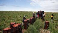 از ابتدای امسال تاکنون؛ ۲۸۰ هزار تن گوجه از مزارع استان بوشهر برداشت شد