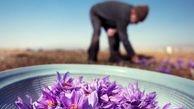 90درصد زعفران جهان در ایران تولید میشود