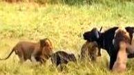 حمله بیرحمانه سه شیر نر به یک بوفالو پس از زایمان