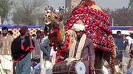 شترها در پاکستان کشتی میگیرند!