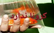 ویروس کرونا از طریق ماهی گلی منتشر نمی شود