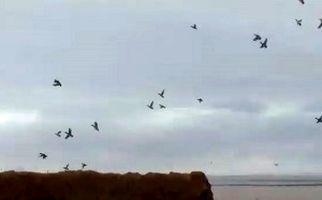 پرواز زیبای پرندگان مهاجر در دق پترگان + فیلم
