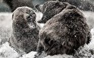 مبارزه دیدنی ۲ خرس غول پیکر با یکدیگر