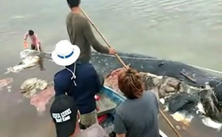 پلاستیکها جان یک نهنگ را گرفتند + فیلم