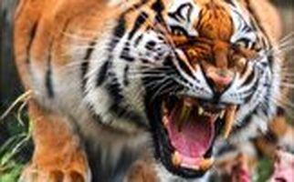 حمله غافلگیر کننده ببر خشمگین به یک زن