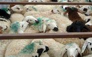  50 راس دام قاچاق در کرمانشاه کشف شد