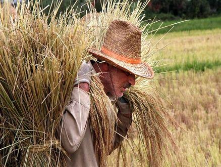 اختصاص یک میلیارد دلار ارز یارانهای برای واردات برنج!
