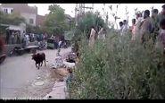 فیلم/ صحنه وحشتناکی که گاو خشمگین برای پیرمرد عصا به دست رقم زد