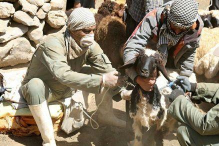 واکسیناسیون رایگان بیش از پنج میلیون دام در استان کرمانشاه
