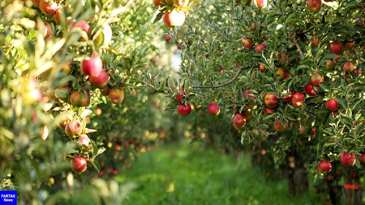 رتبه سوم ایران با تولید 4.1 میلیون تن سیب در دنیا