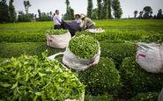 کارخانههای شمال کشور چه میزان چای تولید کردند؟