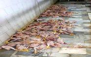 خروج 339 قطعه مرغ از چرخه مصرف در کرمانشاه