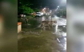 پرسه شیرهای سرگردان در شهر مردم را به وحشت انداخت