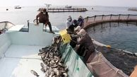 ۴۰۰ تُن ماهی پرورشی در قشم برداشت شد