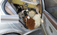 قاچاق ۱۳ راس گوسفند در داخل یک سمند