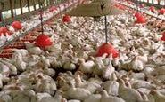 ملک نیا: با ذخایر پشتیبانی در گوشت مرغ کمبودی نداریم