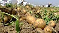 تولید ۵میلیون تن سیب زمینی تا پایان سال