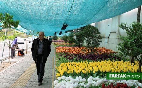 اختصاصی/اقدام ارزنده بیاد مادر؛ کاشت 230 هزار گل های لاله+تصاویر