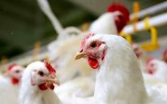 خرید مرغ با کارت ملی
